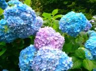 150530 紫陽花