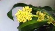 160214 ドラセナの花つぼみ